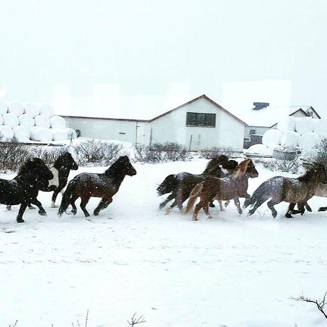 Icelandichorses running snow iceland instagood instadaily instamood iceland traveller touristhellip